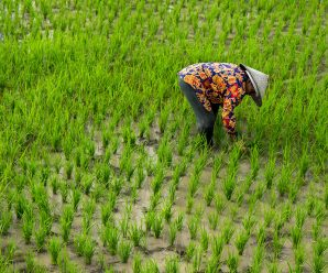 Rising CO2 Levels Threaten Rice's Nutritive Value